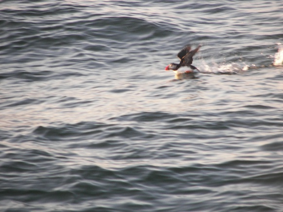 Puffin Action Shot