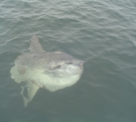 20060811194533_sunfish2